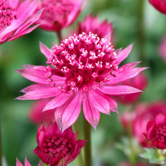 Große Sterndolde Pink Joyce | #3