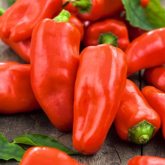 Paprikapflanze Snackpaprika Lubega Mini Red, veredelt, im ca. 11 cm-Topf | #3