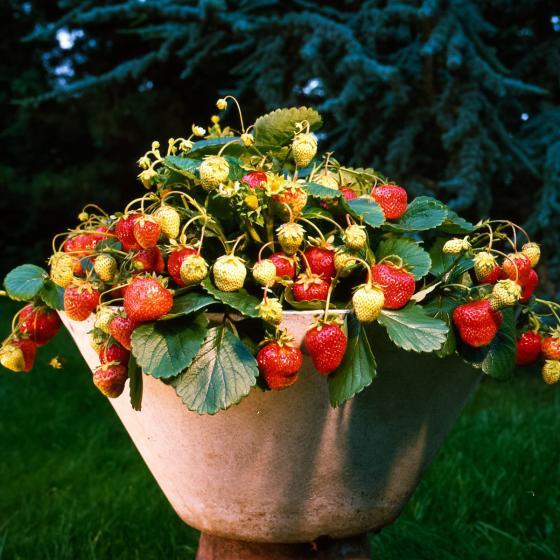 Erdbeerpflanze Rimona, im ca. 9 cm Topf | #3