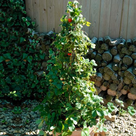 Erdbeere Klettertoni 3er-Set, im ca. 9 cm-Topf | #3