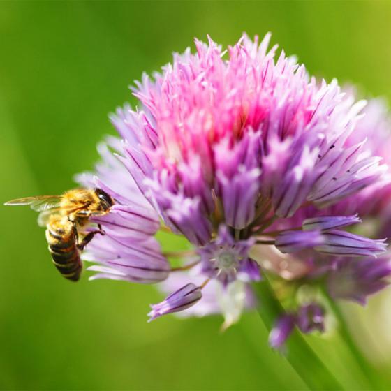 Saatgut-Holzbox Bienenparadies, 8 Saatgut-Sorten | #3
