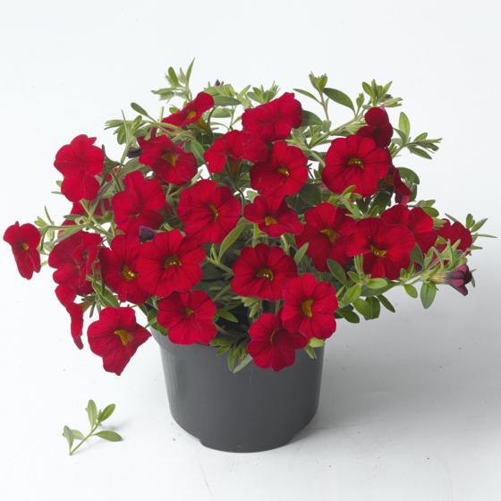 Zauberglöckchen, rot, im ca. 12 cm-Topf | #3