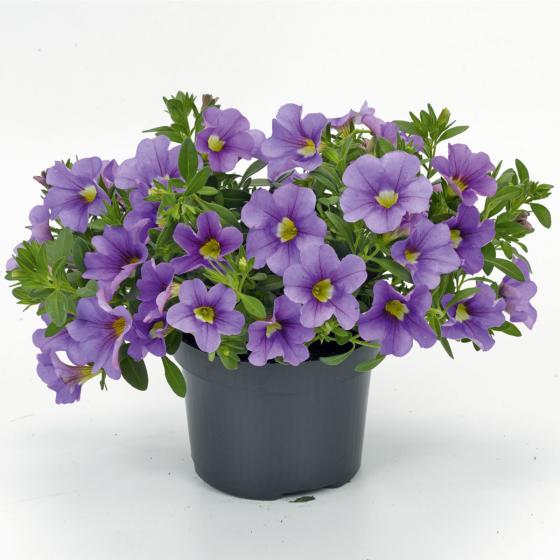 Zauberglöckchen, lila,  im ca. 12 cm-Topf | #3