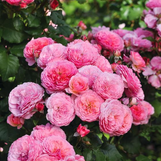 Essbare Culinaric Rose, rosa-apricot, im ca. 22 cm-Topf | #3