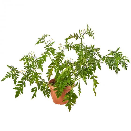 Litschi-Tomatenpflanze Star Benas, im ca. 13 cm-Topf | #3