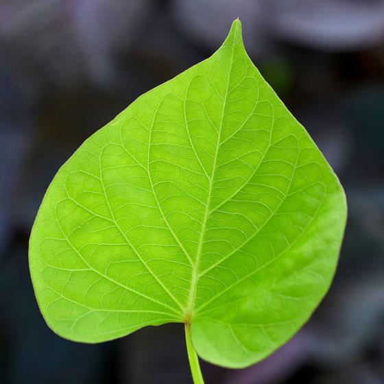 Süßkartoffelpflanze Makatea, im ca. 13 cm-Topf | #3
