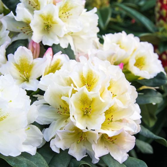 Historischer Rhododendron Luise V., im ca. 23 cm-Topf | #3