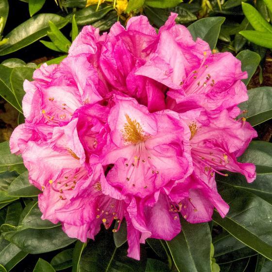 Historischer Rhododendron Charlotte B., im ca. 23 cm-Topf | #3