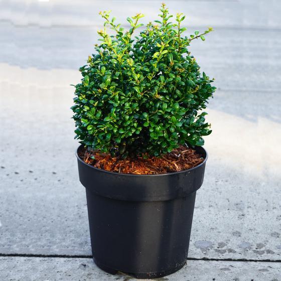 Stechpalme, grün, im ca. 21 cm-Topf | #3