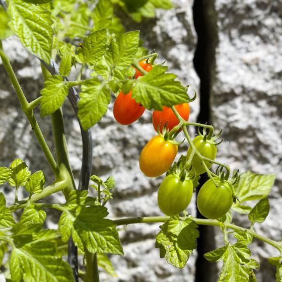 5er-Set Tomatenspiralstäbe, 110 cm | #3