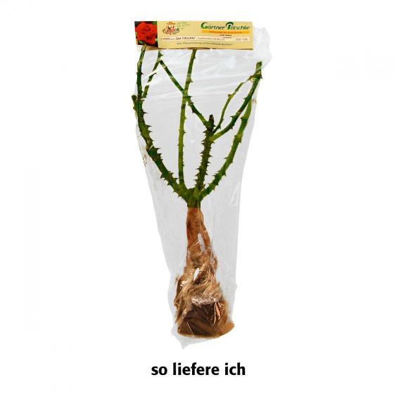 Gärtner Pötschkes Kletterrose Duftkaskade | #3