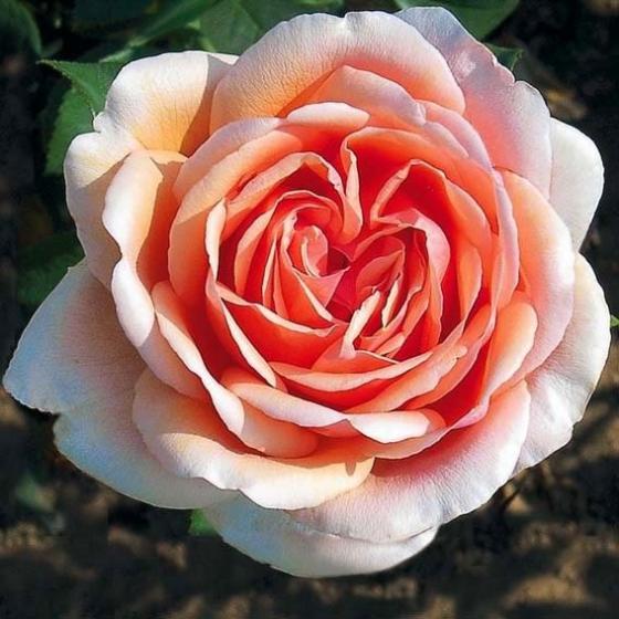 Meister-Rose® Cornelia Pötschke®, Stamm, im ca. 26 cm-Topf | #3