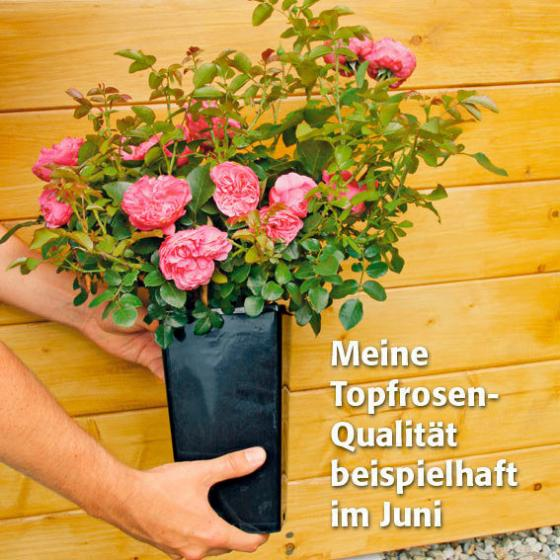 rose jasmina im 3 liter topf von g rtner p tschke. Black Bedroom Furniture Sets. Home Design Ideas