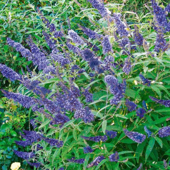 Zwerg-Schmetterlingsflieder Petite Adonis Blue | #3