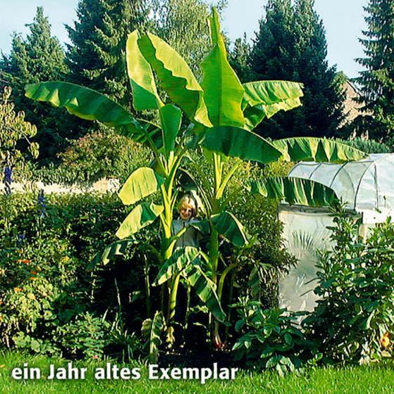 Winterharte Banane | #3