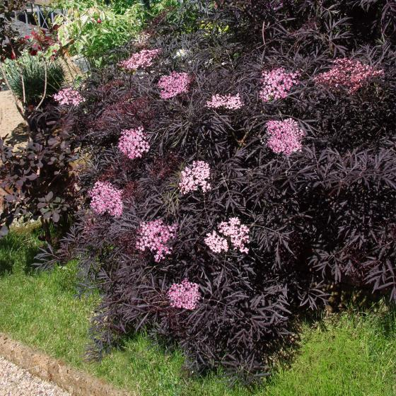 Duft-Holunder Black Lace®, im ca. 19 cm-Topf | #3