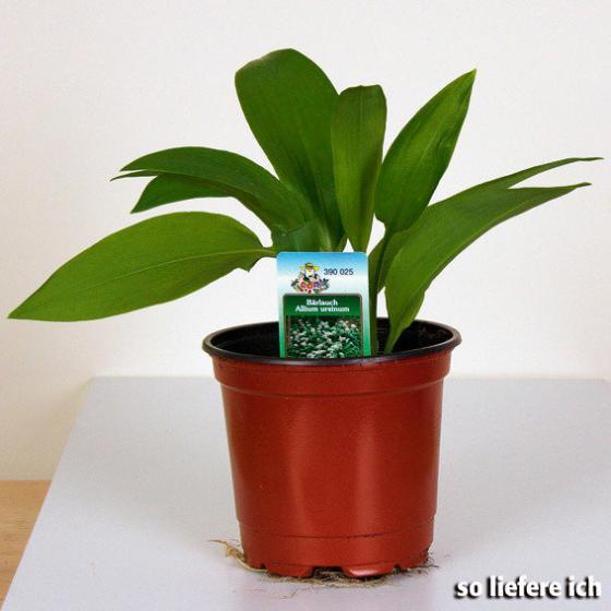 Bärlauch-Pflanze | #3