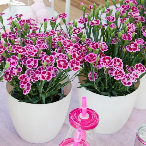 Prinzess-Nelke Pink Kisses® | #3
