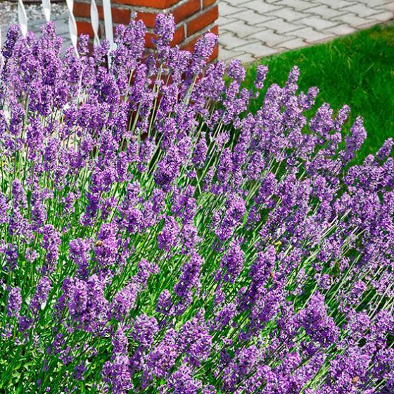 Lavendel 'Der Klassiker', im ca. 9 cm-Topf | #3