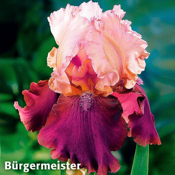 Stauden-Sortiment Regenbogen-Iris | #3