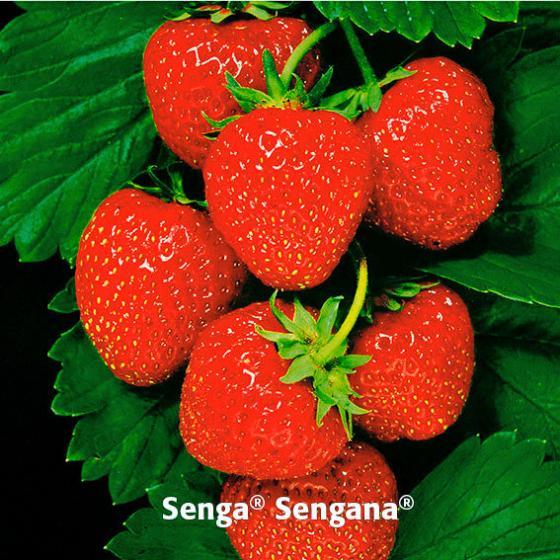 Erdbeerpflanzen-Sortiment Marathon | #3