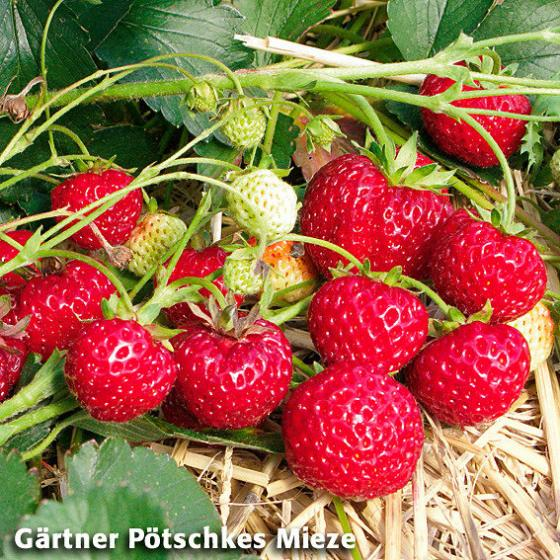 Gärtner Pötschkes Erdbeersorten Auslese, getopft | #3