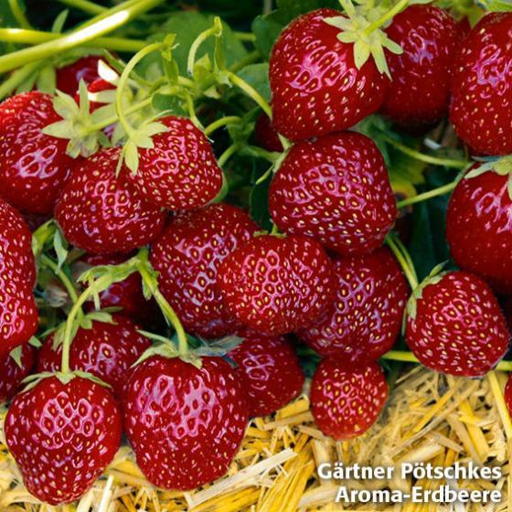 Erdbeerpflanzen-Sortiment Gärtner Pötschkes Köstliche Sorten, getopft | #3