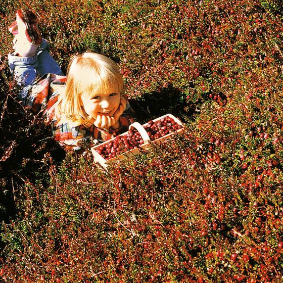 Cranberry, im ca. 13 cm-Topf | #3