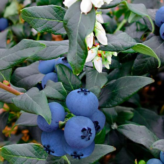 Obst-Set Blaubeer-Zauber, im ca. 17 cm-Topf | #3