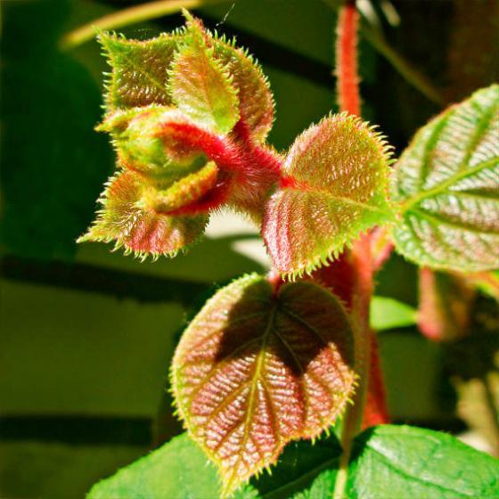 Kiwi 2er-Set, männlich u. weibliche Pflanzen, im ca. 17 cm-Topf | #3
