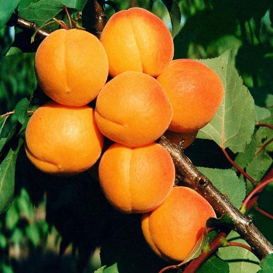Obstsalatbaum® | #3