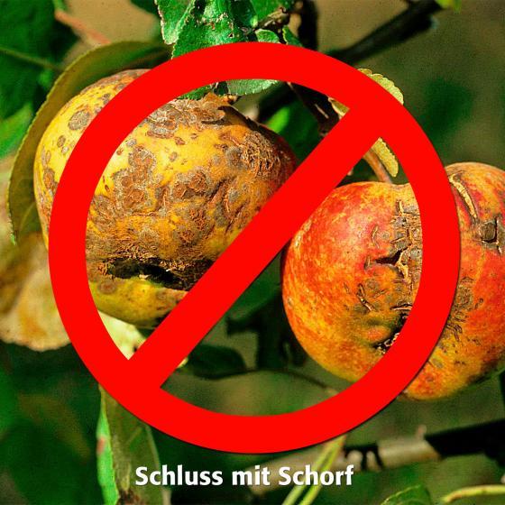 Apfel Roter Topaz, Basic | #3