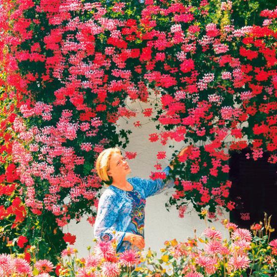 Rosa Hängegeranie Ville de Paris, im ca. 12 cm-Topf | #3