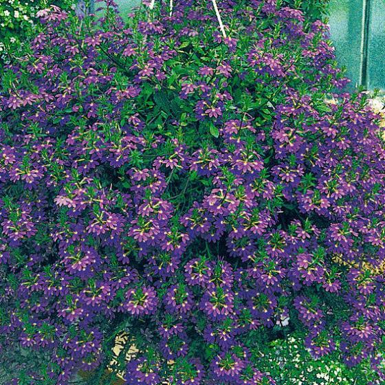 Blaue Fächerblume | #3