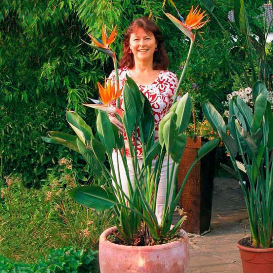 Paradiesvogelblume Strelizie, im ca. 15 cm-Topf | #3