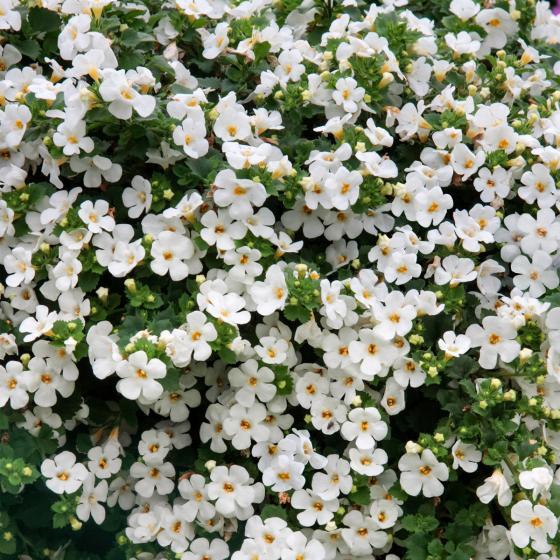 Weiße Schneeflockenblume, im ca. 11 cm-Topf | #3