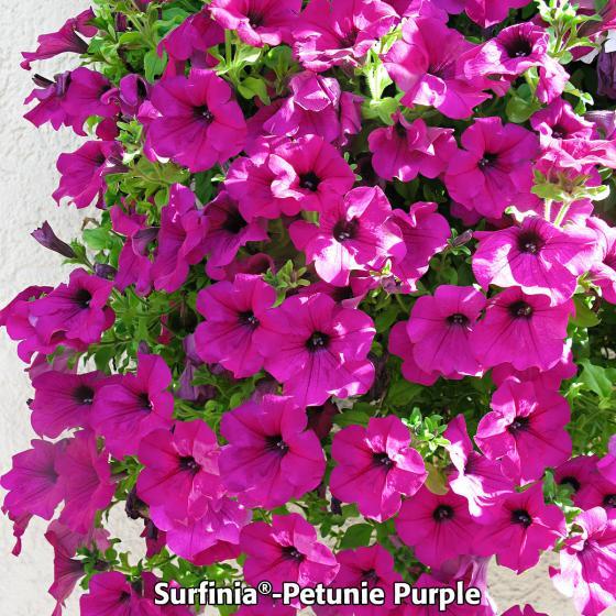 Sommerblumen-Sortiment Petunien | #3
