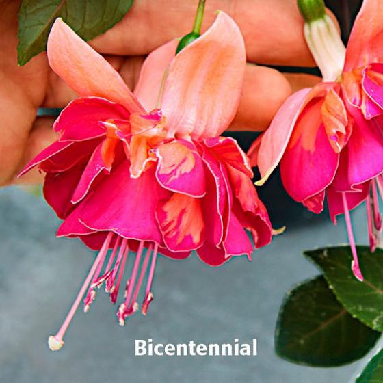 Sommerblumen-Sortiment Giant-Fuchsien, 6 Stück | #3