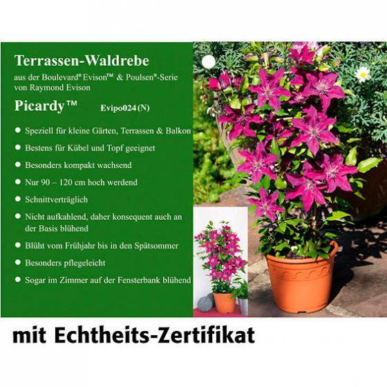 Terrassen-Clematis Picardy™ | #3