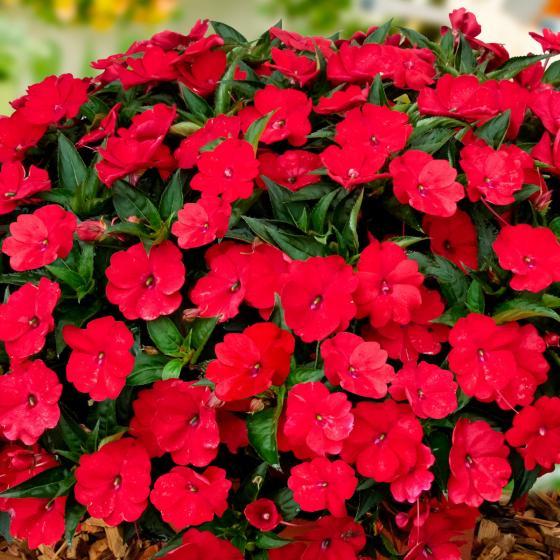 Fleißiges-Lieschen Sunpation Red, im ca. 12 cm-Topf | #3