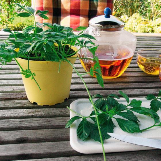 Blu Bio-Kräuterpflanze Unsterblichkeitskraut | #3