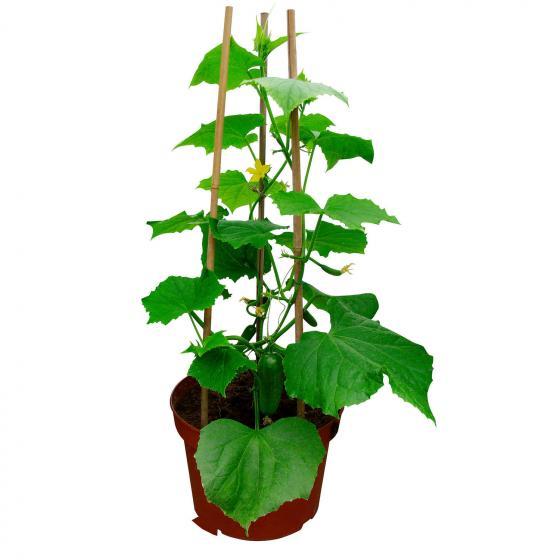 Gurkenpflanze Mini Stars, veredelt, im ca. 12 cm-Topf | #3