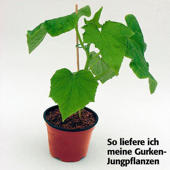 Gurkenpflanze Loustik F1, veredelt | #3
