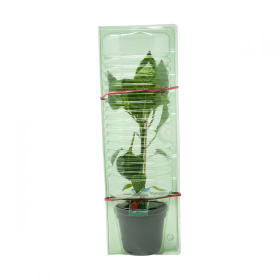 Paprikapflanze Bendigo F1, veredelt, im ca. 10,5 cm-Topf | #3