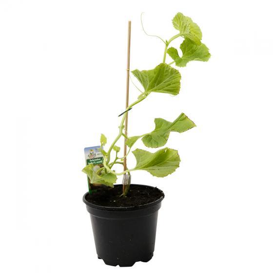 Zuckermelonenpflanze Stellio F1, veredelt, im ca. 10,5 cm-Topf | #3
