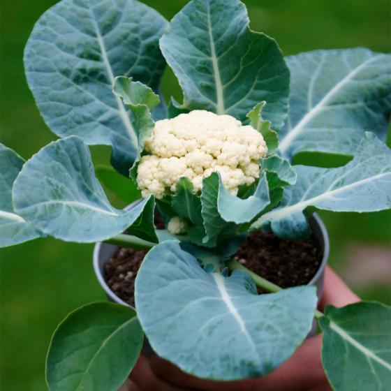 Gemüse-Pflanze Blumenkohl Multi-Head F1 | #3