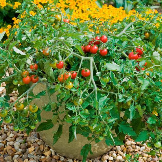 Tomatenpflanze Lizzano F1, im ca. 10,5 cm-Topf | #3
