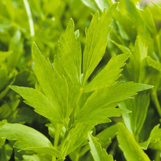 Kräuterpflanze Liebstöckel Maggikraut Verino, im ca. 12 cm-Topf | #3