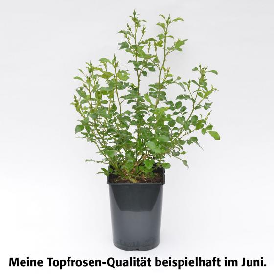 Rose Mini Eden Rose ®, im 4-Liter-Topf | #3