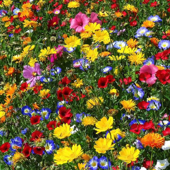 Blumensamen-Mischung Original Mössinger Sommer für 3 qm | #4